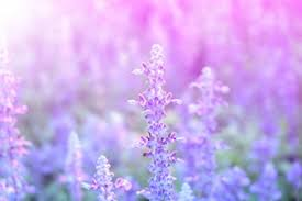 lavender flowers lavender vectors photos and psd files free