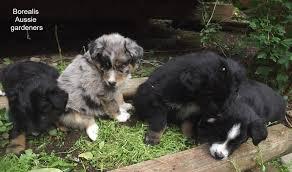 australian shepherd 9 weeks borealis aussies home facebook