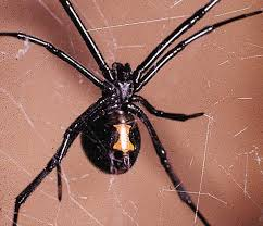 Black Widow Spiders Had A - friend or foe the truth about the black widow natural world