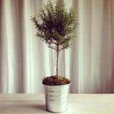 Rosemary Topiary Belgian Farmhouse U2026 For The Curated Home