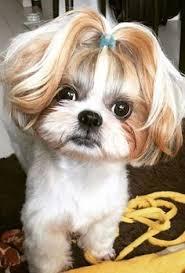 shih tzu haircuts 89 best shih tzu hair styles images on pinterest shih tzus fluffy