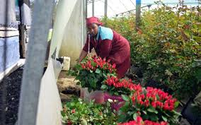 Flower Companies Flower Companies In Naivasha Shiver In Cold Weather Daily Nation