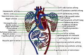 Anatomy Of Human Body Organs The Human Circulatory System I