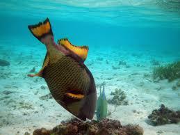 file maldives titan triggerfish balistoides viridescens jpg
