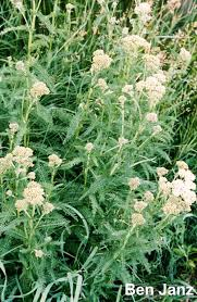 native alberta plants common yarrow