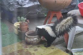 skunk takes up residence u2013 the mercury news