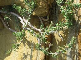 native plants san diego native plant species cabrillo national monument u s national