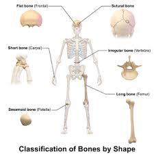 Human Anatomy Pic Bone Wikipedia