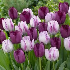 van zyverden tulips bulbs majestic royal blend set of 15 21589