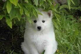 american eskimo dog short hair american eskimo dog puppies dog puppy
