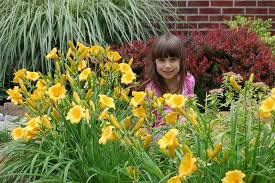 stella daylily stella de oro oakes daylilies