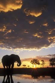 apple wallpaper elephant how heavy is a male african elephant iphone wallpapers apple iphone