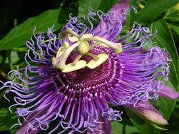 native plants passionflower vine grows useful plant passion flower youtube