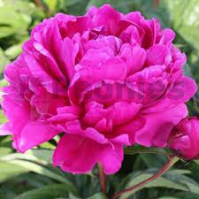 Dark Red Flower - dark red archives r2 flowers bv broker in paeonia