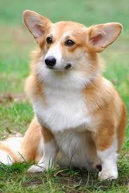 australian shepherd vs corgi pembroke welsh corgis info facts temperament puppies pictures