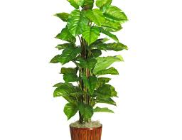 plant indoor plants with big leaves incredible large leaf