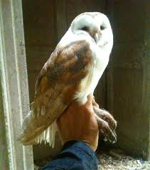 Where Does The Barn Owl Live Duhallow Raptor Conservation Project How Long Does A Barn Owl Live