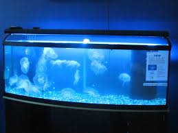 image gallery jellyfish aquariums for home