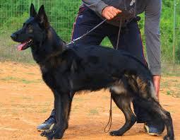 Light Sable German Shepherd The German Shepherd Dog German Shepherd Guide
