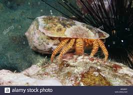 reef safe hermit crabs information and facts calcinus elegans