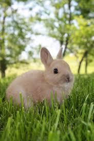 netherland dwarf rabbit wikiwand
