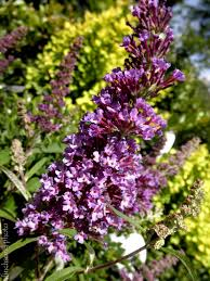 Buddleia U0027purple Emperor U0027 Purple Emperor Butterfly Bush Deciduous