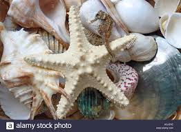 assorted seashells background of assorted seashells starfish and seahorse stock