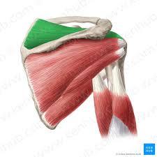 Innervation Of Supraspinatus Supraspinatus Muscle Musculus Supraspinatus Kenhub