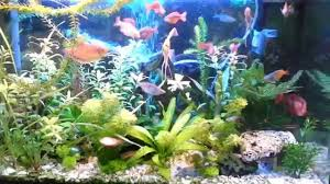 Home Aquarium by Fish Tank Best Freshwater Fish For Your Home Aquarium Keeping