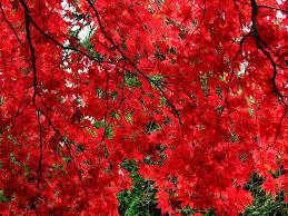 outdoor u0026 garden design mesmerizing japanese maple bloodgood for