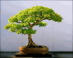 awesome bonsai trees for sale order today arrives healthy