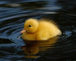 why are toy cartoon ducks always yellow singletrack forum