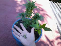 imagenes perronas mota mi primer post y cultivo la marihuana