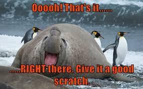 Walrus Meme - i can has cheezburger walrus funny animals online cheezburger