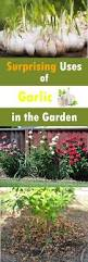 bulb garden layout 11 surprising uses of garlic in the garden garlic benefits