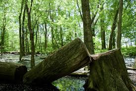 free photo tree tree forest cutting free image on