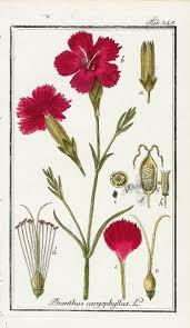 best 25 dianthus caryophyllus ideas on pinterest red carnation
