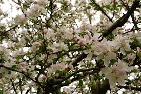 blooms flowers file apple tree flowers blooms west virginia forestwander jpg