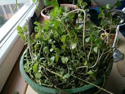 herbs can indoor mint grow all year round gardening