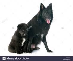 belgian sheepdog groenendael picture of a puppy and belgian sheepdog groenendael stock