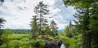 white pine trees adirondack trees eastern white pine pinus strobus