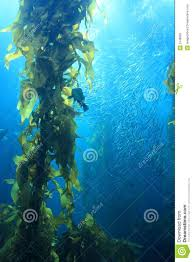 giant kelp stock image image 5748681
