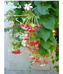Fragrant Climbing Plant - growing climbers in pots fast growing climbing plants in pots