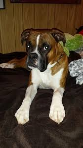 boxer dog 3 weeks pregnant dog pees in house when left alone thriftyfun