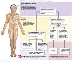 Nervous System Concept Map The Nervous System Organization And Tissue
