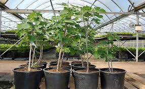 growing fig trees in containers stark bro s
