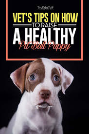 best 25 pitbull breeders ideas on pinterest blue pitbull