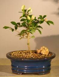 Indoor Flower Plants Indoor Flowering Plants Amazon Com