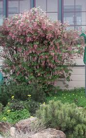 native plant nursery santa cruz flowering trees gardening tips for the santa cruz mountains