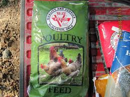 what to feed backyard chickens pros or cons of high protein feed backyard chickens